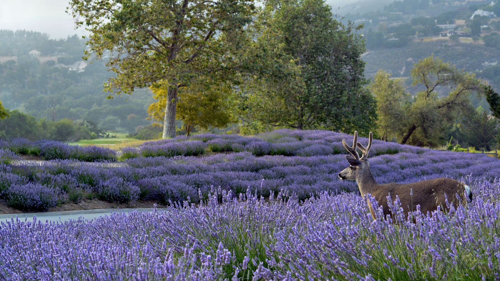 Carmel Valley Ranch_Nature_deer buck in lavender facing valley