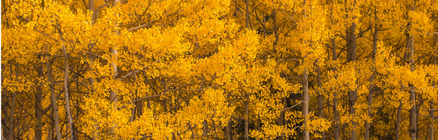 drsnowmass_location_gosnowmass_aspentreesinautumn