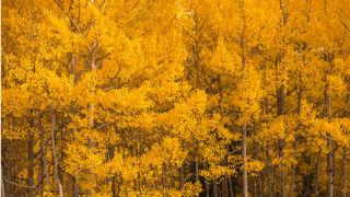 Aspen trees in Snowmass Village, Colorado