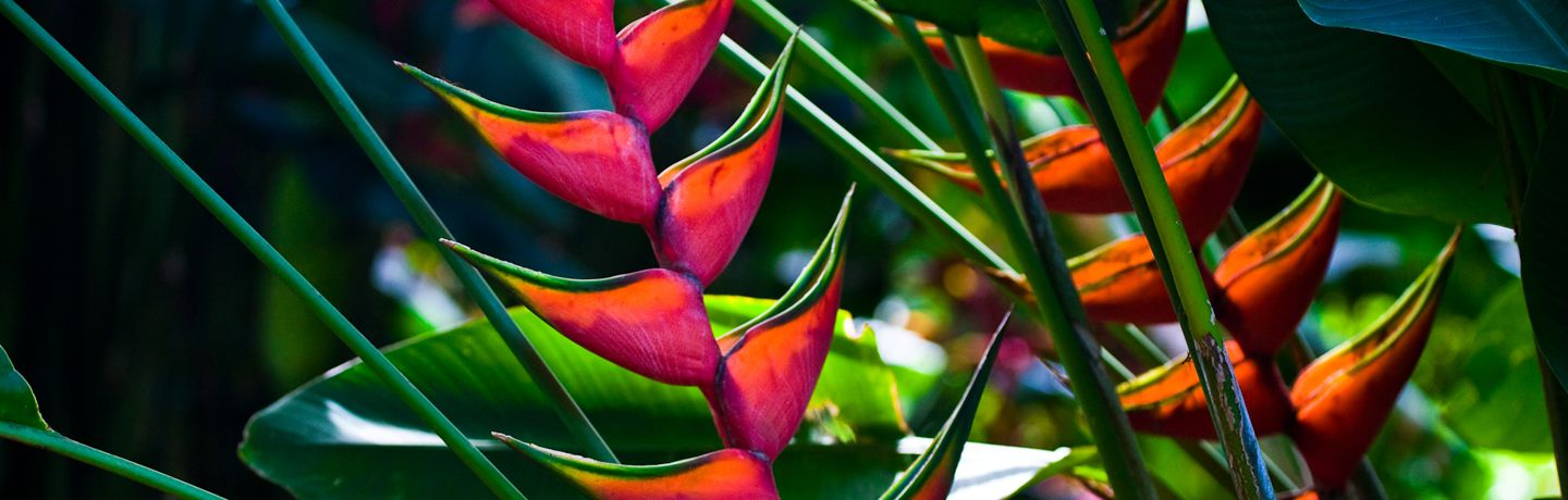 Red Lobster Claw Heliconia Plant
