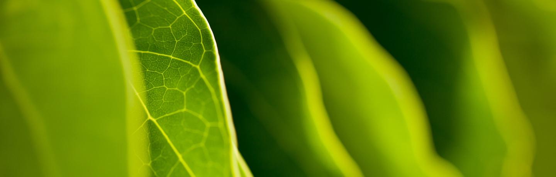 Green Kalo (Taro) Plant Leaves