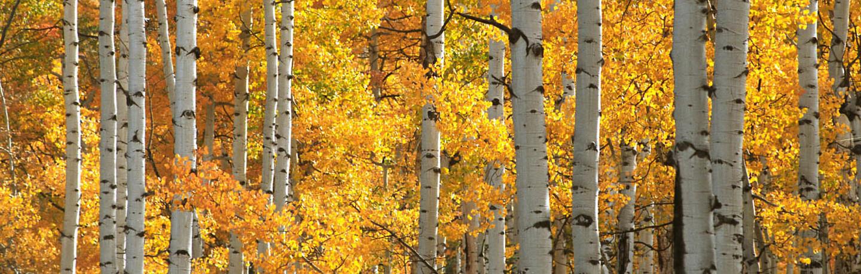 AspenTrees_standard_fall203