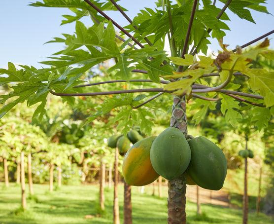 Kauai papaya
