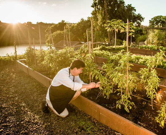 A chef picking fresh vegetables from the vine at sunset at the Kukui'ula Farm.