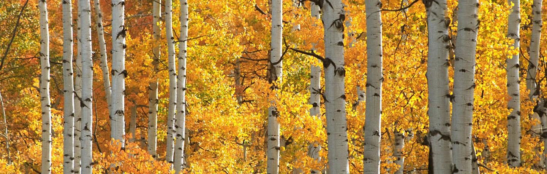 AspenTrees_standard_fall