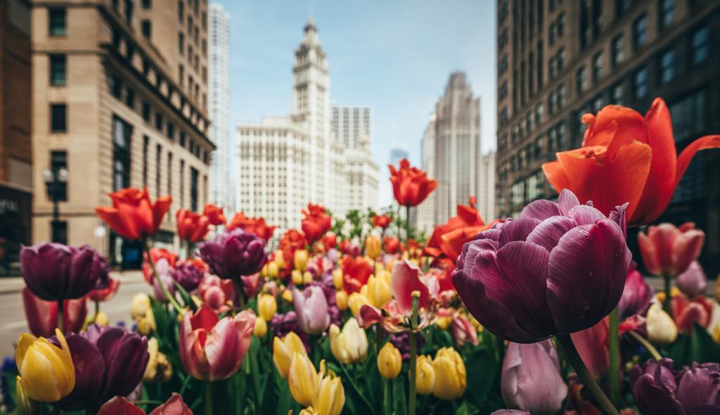 E Petersen_Tulips Michigan Avenue