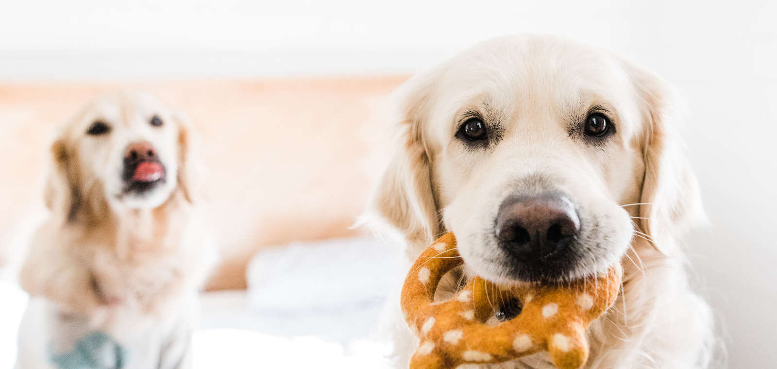 english cream golden retriever holding pretzel toy while another retriever dog pokes her tongue out in the background
